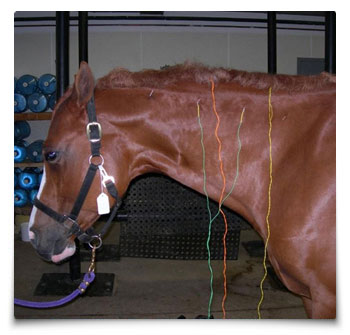 Heart Equine - Electrical Acupuncture - Equine Neck