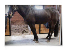 Heart Equine - Pre-Adjustment Posture